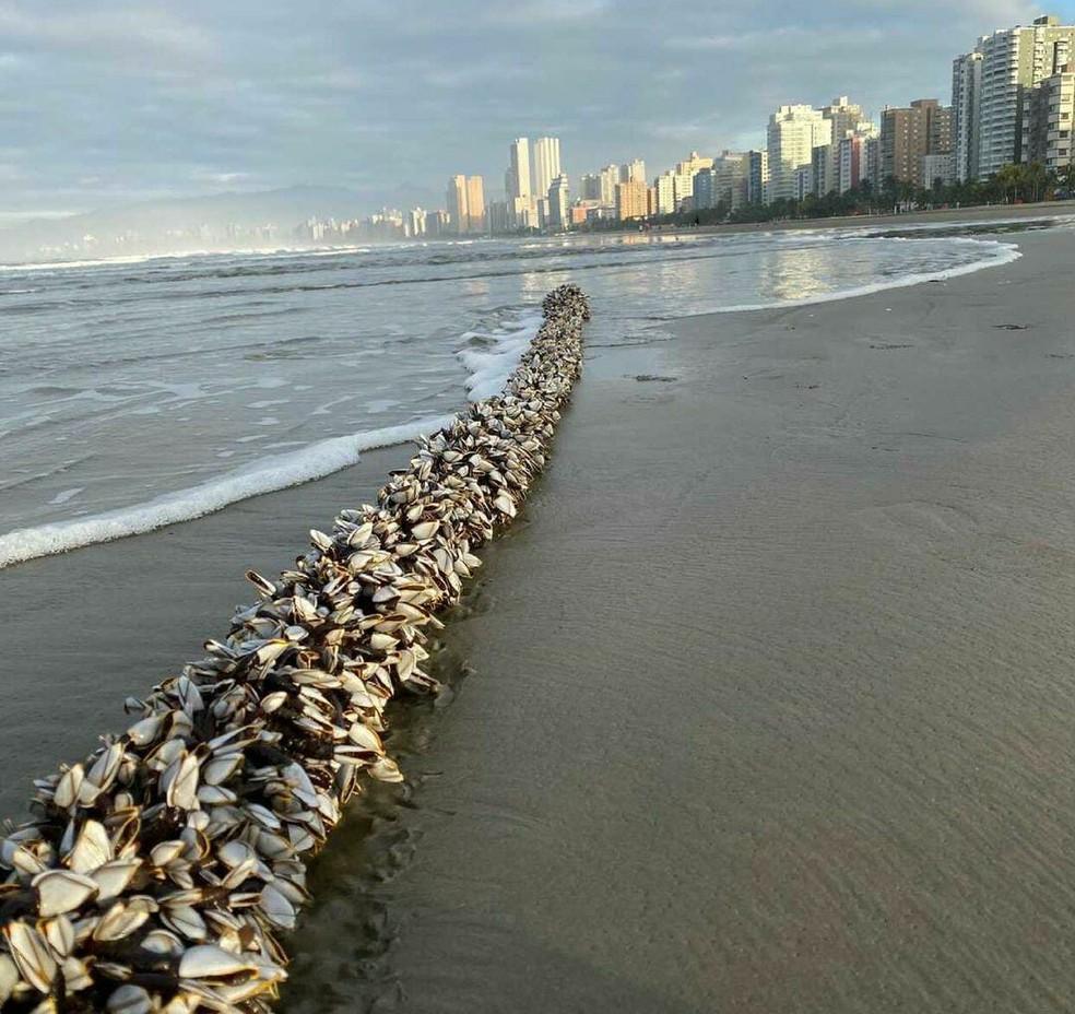 Milhares de crustáceos chamaram a atenção de moradores da região — Foto: Reprodução/Praia Grande Mil Grau