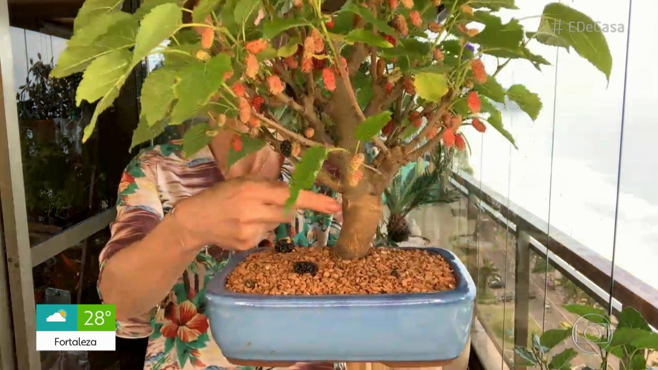 Viva o Verde: David Junior aprende a transformar amoreira em bonsai