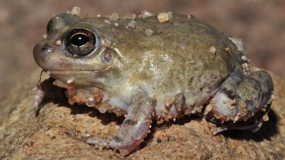Sapo da espécie Pleurodema diploslister após fenômeno chamado estivação, que ocorre com anfíbios em desertos e onde água é escassa — Foto: Carlos Jared/BBC