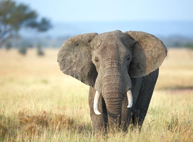 Mesmo com a caça proibida, elefantes são mortos diariamente na África. Agora, uma nova tecnologia pretende facilitar o trabalho dos guardas, a fim de proteger os animais (Foto: NRDC/ Reprodução)