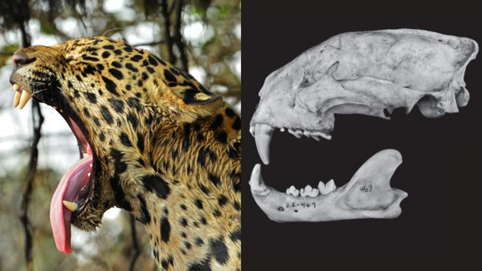 Crânios de mamíferos são destaque em atlas