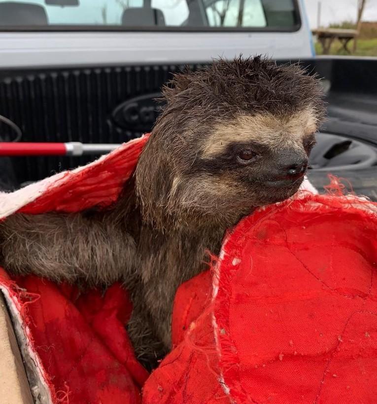 Preguiça é resgatada no bairro Santa Rita, em Barra Mansa e devolvida à natureza - Notícias - Plantão Diário