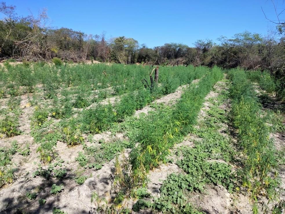 Polícia descobre plantação com 4,5 mil pés de maconha na região oeste da Bahia — Foto: Divulgação / SSP