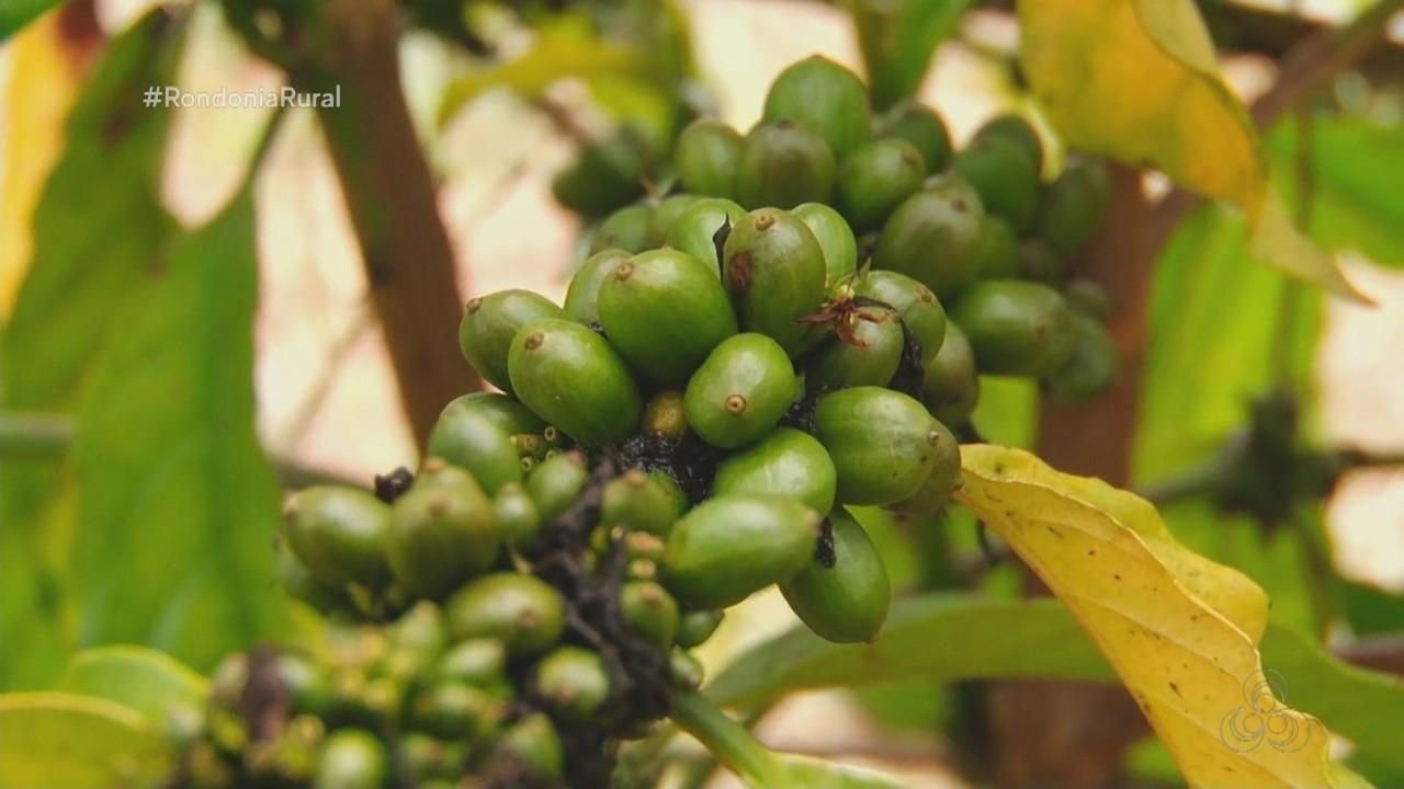 Cafeicultores de Nova União investem em clones de café Robusta Amazônico