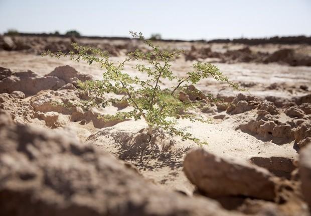 Muda plantada por voluntários do Acacias for All (Foto: Divulgação)