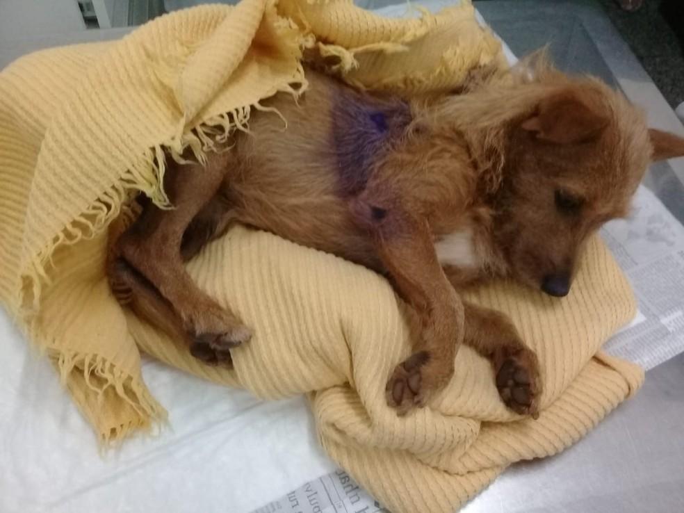 Casal nega que amarrou cachorro para castrar e afirma que deu espécia de anestésico Araraquara (SP) — Foto: Arquivo pessoal