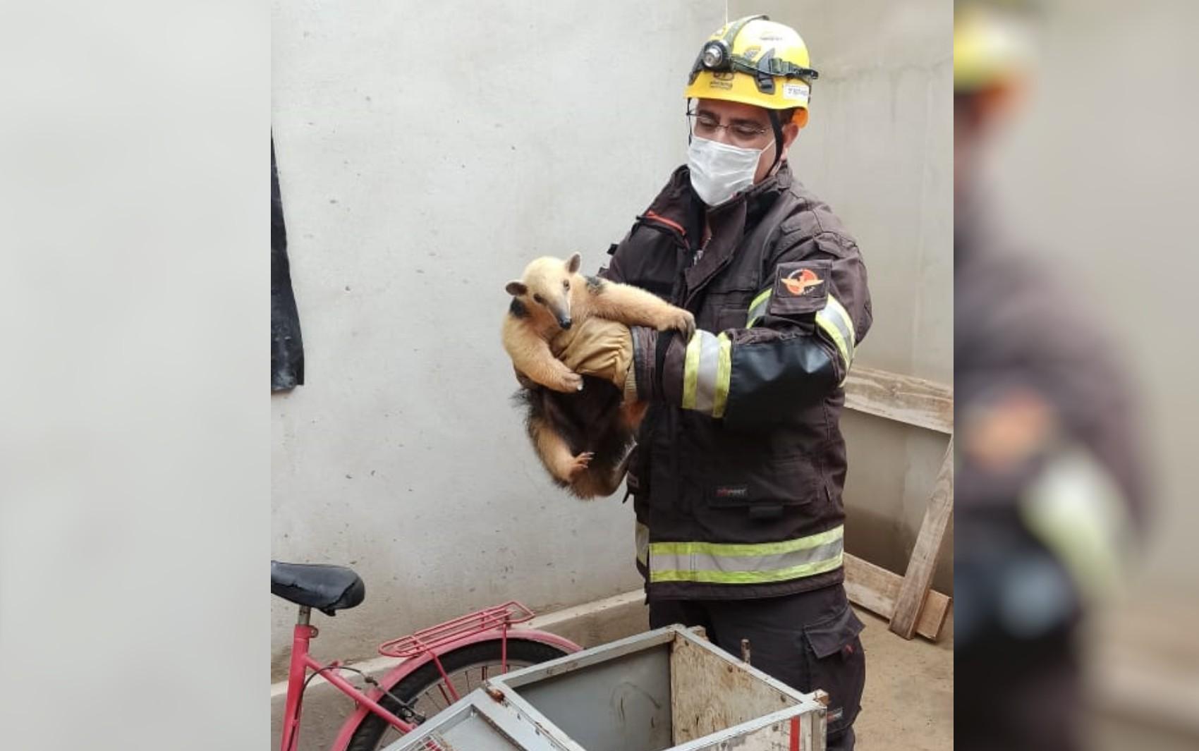 Bombeiros registram movimento de 'abraço' de tamanduá-mirim ao soltá-lo em mata após resgate em Morrinhos; vídeo