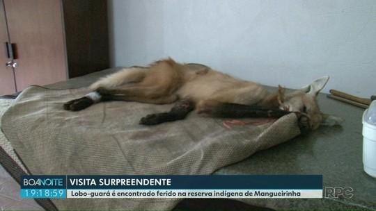 Lobo-guará ferido é resgatado por índios, em Mangueirinha