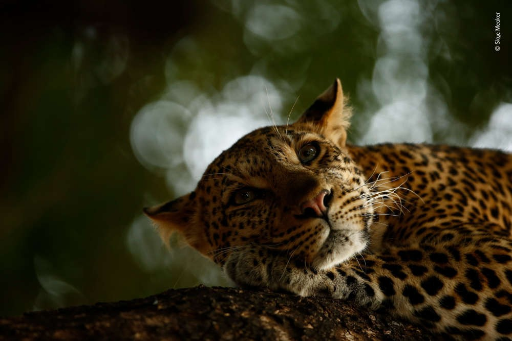 Leopardo fotografado por Skye Meaker, de apenas 16 anos (Foto: Wild Life Photographer of the Year/Skye Meaker)
