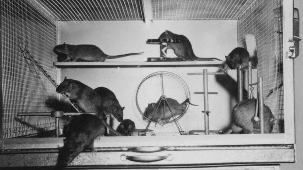 Ratazanas que tiveram espaço, estímulo e companhia para descobrir, explorar e se exercitar se desenvolveram muito mais (Foto: MARIAN DIAMOND UC BERKELEY, via BBC News Brasil)