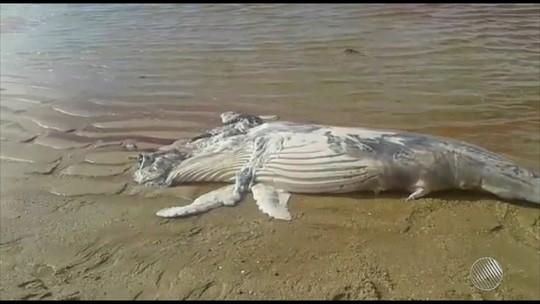 Filhote de jubarte é encontrado morto em praia de Camaçari, região metropolitana de Salvador