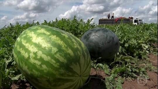 Preço da melancia despenca na BA por excedente na safra de SP
