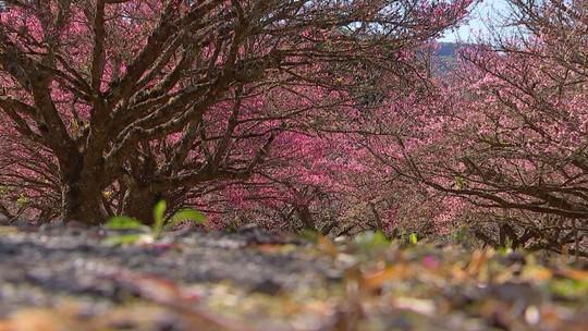 Florada da cerejeira é um espetáculo