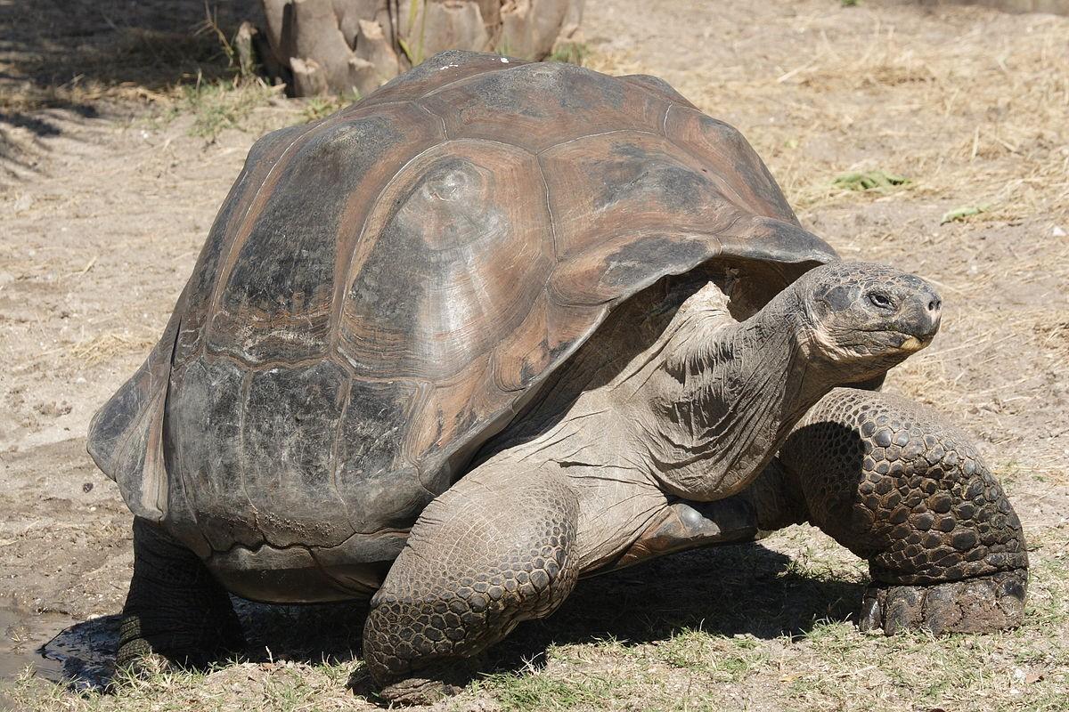 Tartaruga-das-Galápagos (Foto: Wikicommons)