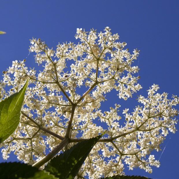 Flor de sabugueiro (Foto: Reprodução)