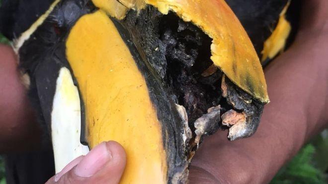 Parte do bico de Jary foi destruído pelo tumor (Foto: WILDLIFE RESERVES SINGAPORE via BBC News Brasil)