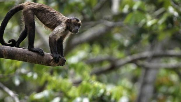 Macaco na Amazônia - meio ambiente - fauna (Foto: AFP - via BBC News)