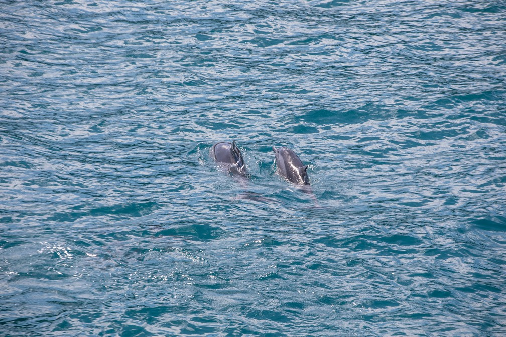 Golfinhos são vistos nadando em grupo durante passeio de barco em Fernando de Noronha — Foto: Fábio Tito/G1