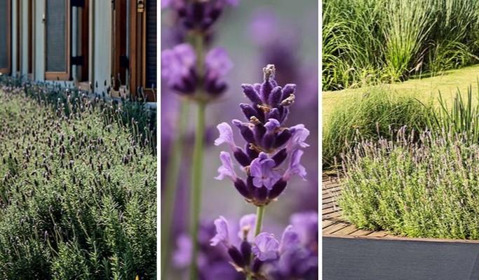 Paisagismo com lavanda: 10 ideias para perfumar o seu jardim