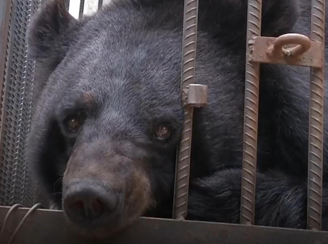 Urso-negro-asiático (Foto: China Global Television Network/ Reprodução)