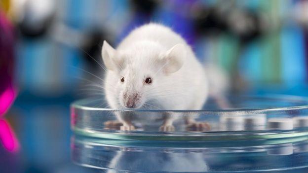 Edição genética em ratos preveniu a falência de fígado nos animais (Foto: Getty Images via BBC News Brasil)