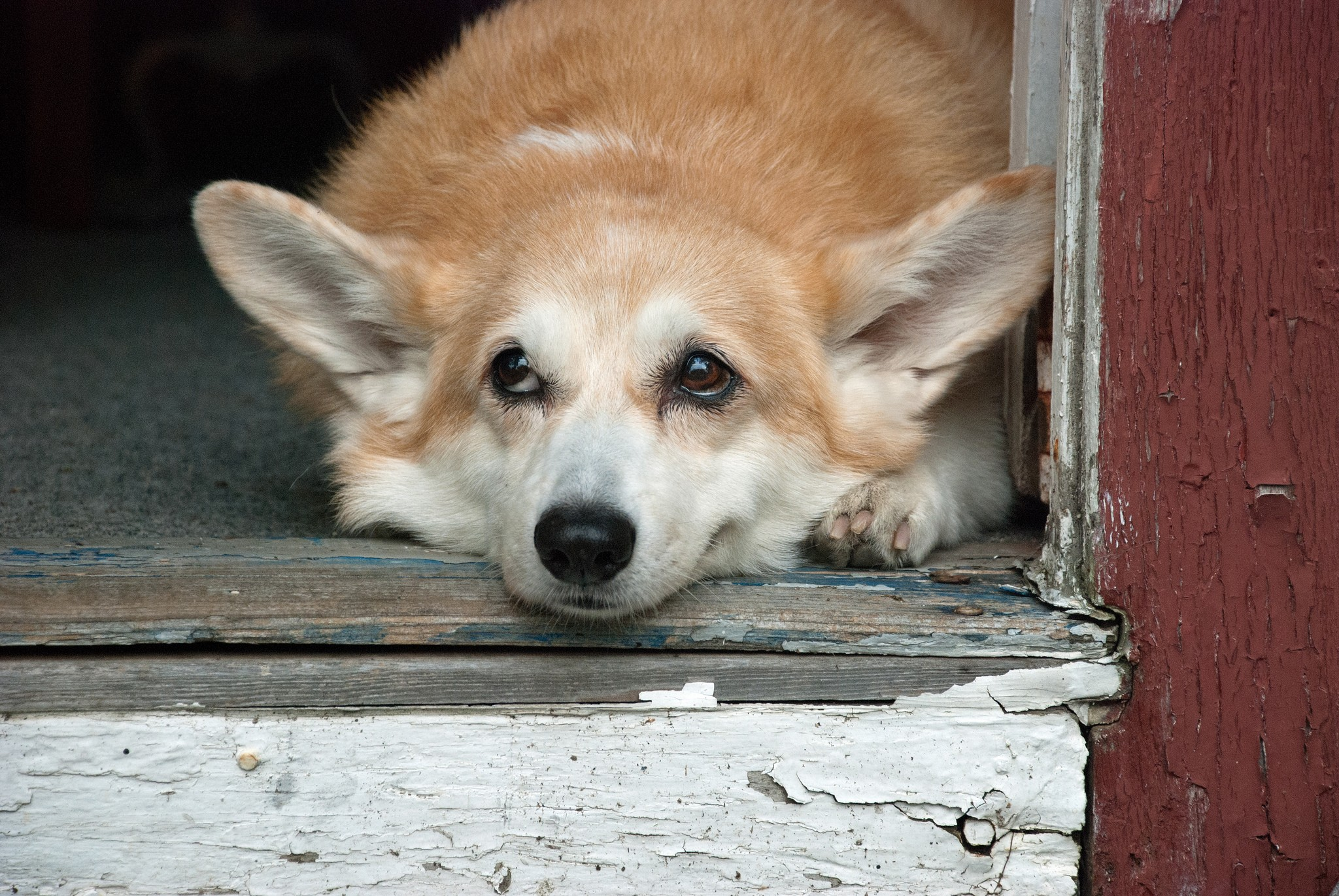 Corgi (Foto: Flickr/Peter Roome)