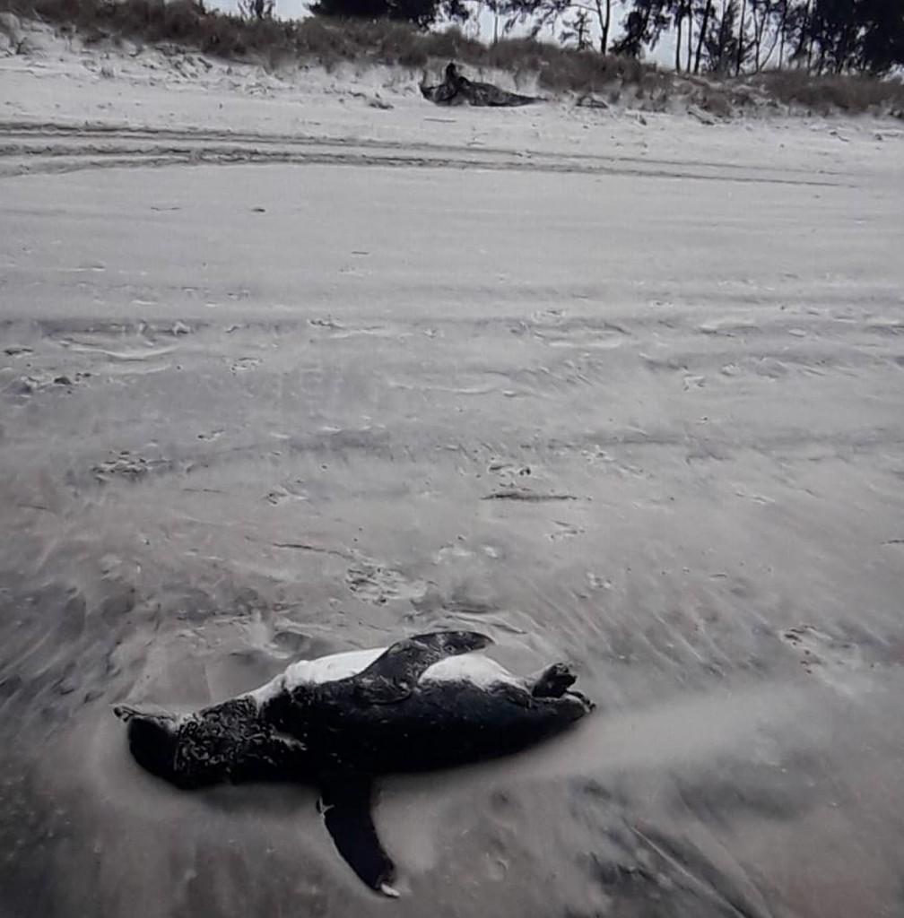 Pinguins juvenis morrem, muitas vezes, por não aguentarem a viagem da Argentina até o Brasil, durante o período de frio.  (Foto: Divulgação/IPeC)