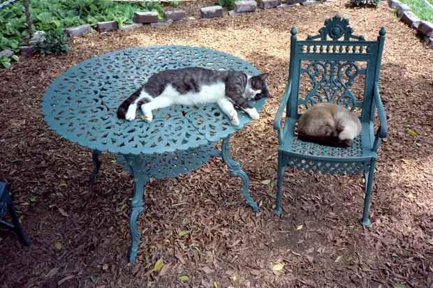 Photo of cats at the Hemingway House in Key West Florida.  Ernest Hemingway liked cats and allowed his house to be overun with them-this tradition continues to this day. (Foto: Getty Images/iStockphoto)