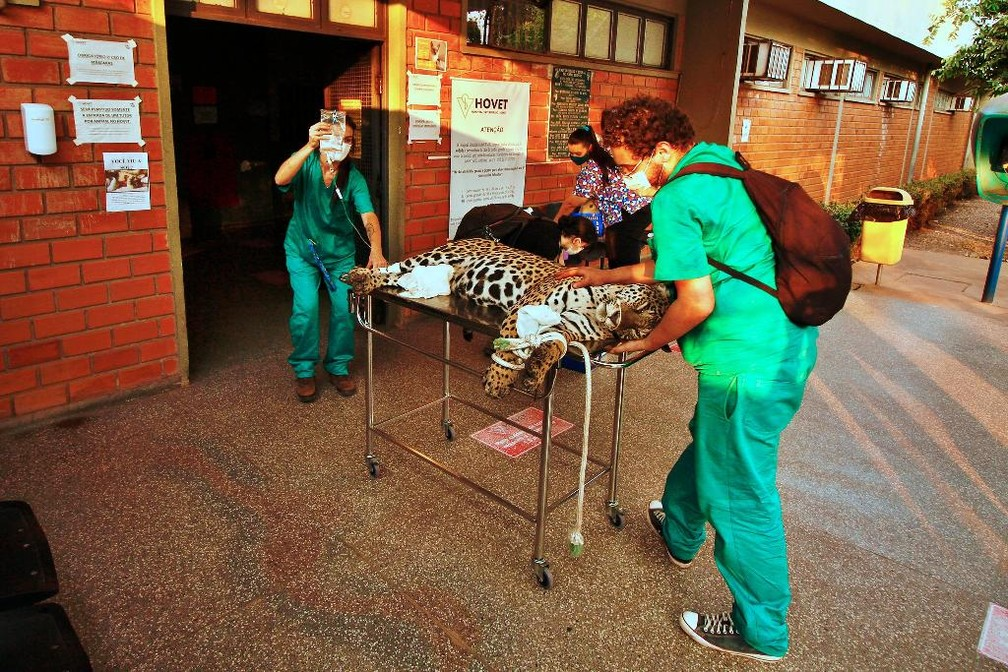Onça-pintada estava debilitada quando foi resgatada — Foto: Willian Gomes /Secom UFMT