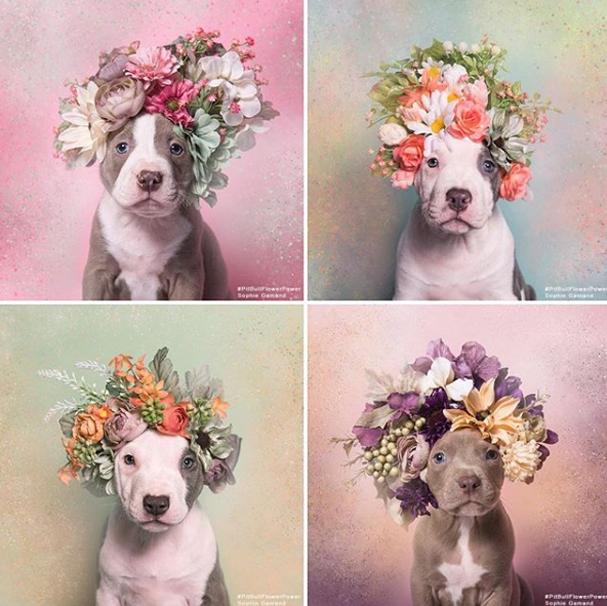 Fotógrafa faz shooting com pit bulls  (Foto: Reprodução)