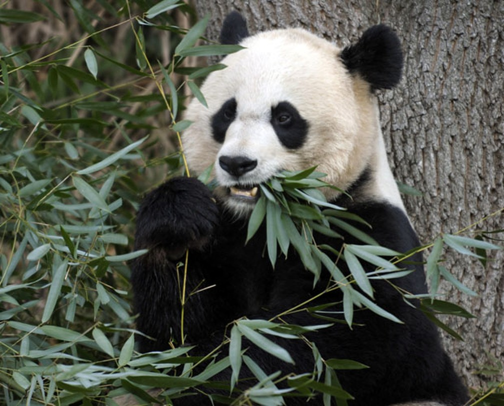 Panda Mei Xiang passou cinco vezes por gravidez psicológica até ter um filhote, que morreu neste domingo — Foto: Susan Walsh/AP