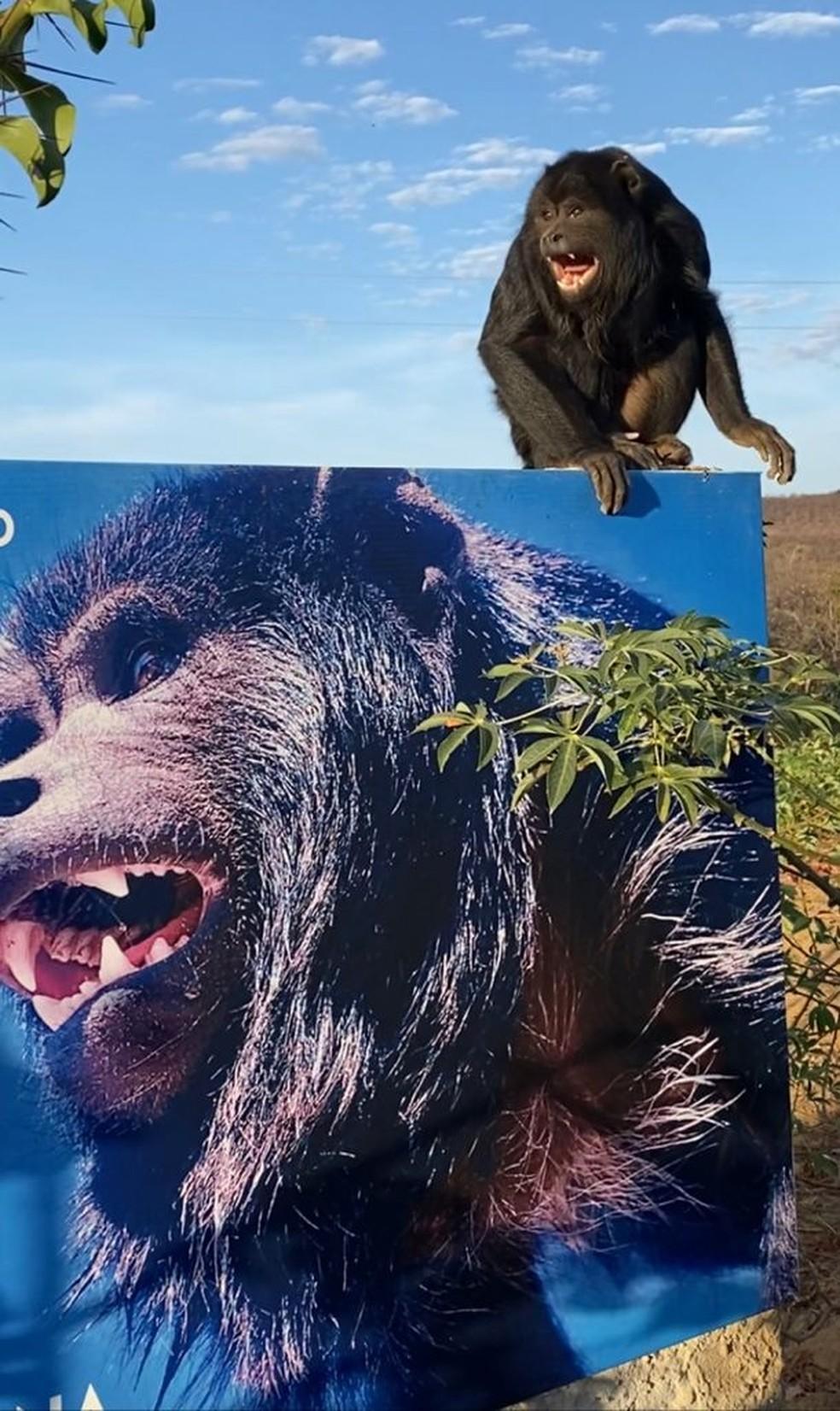 Macaco bugio ataca duas mulheres e uma criança em São Raimundo Nonato, Sul do Piauí — Foto: André Pessoa/Arquivo pessoal