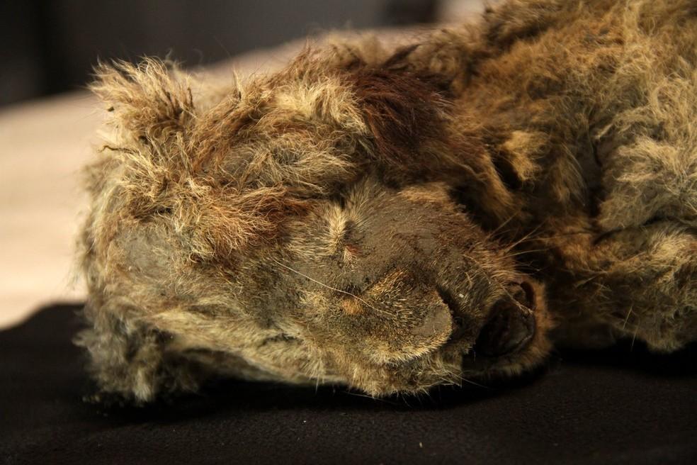 Imagem de Sparta, a filhote de leão-das-cavernas de 28 mil anos que foi encontrada na Sibéria — Foto: Reprodução/@Centre for Palaeogenetics