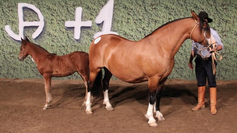 Égua da raça crioula Capitu foi vendida por R$ 1,075 milhão (Foto: Andréia Odriozola/AgroEffetive/Divulgação)