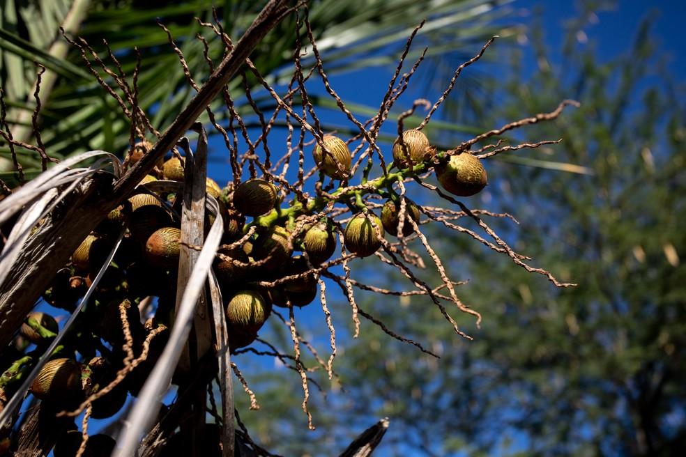 Licuri, coco que cresce aos cachos em palmeiras do sertão da Bahia, o alimento preferido da arara-de-lear. — Foto: Marcelo Brandt/G1