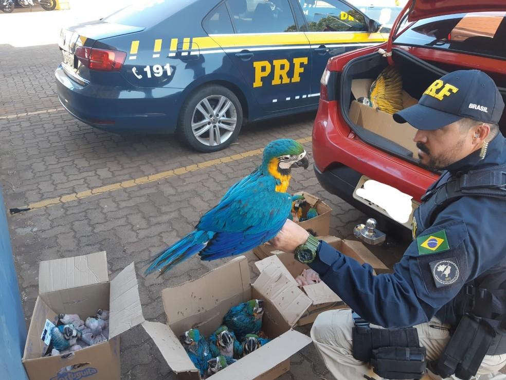 Araras-canindé apreendidas pela PRF em Uberlândia — Foto: PRF/ Divulgação