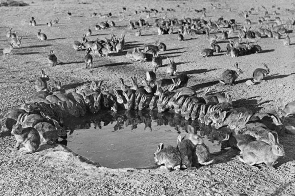 Coelhos na Austrália em 1938: animais foram 'importados' para a caça esportiva, mas se proliferaram descontroladamente (Foto: Wikimedia Commons)