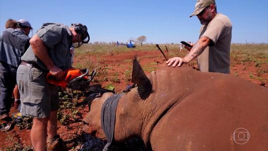 Na África do Sul, rinocerontes têm chifres cortados para proteção da espécie