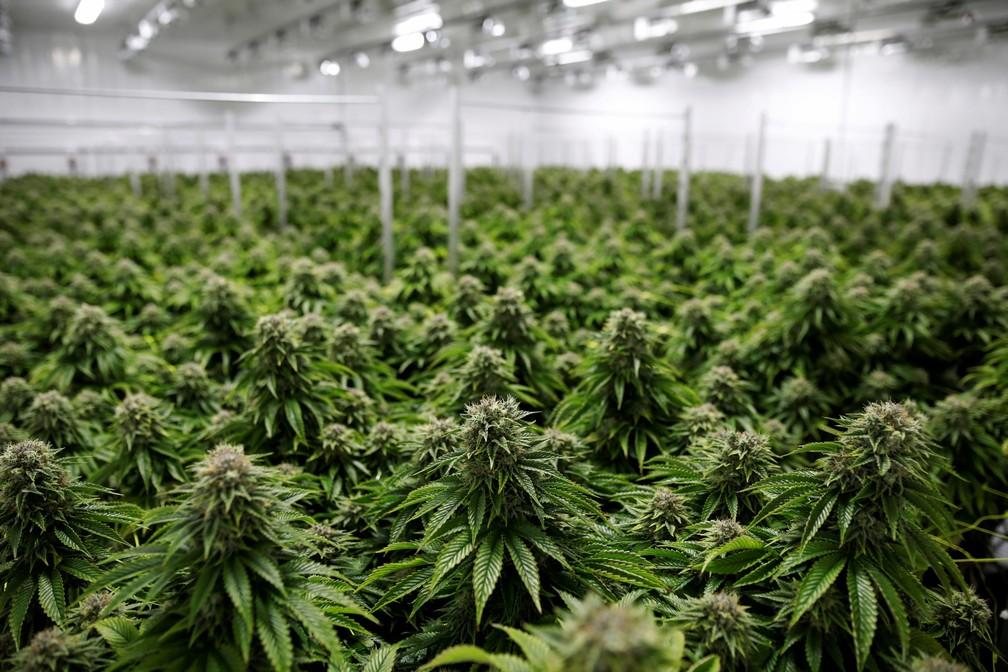 Senado e Câmara do estado de NY aprovam legalização da maconha