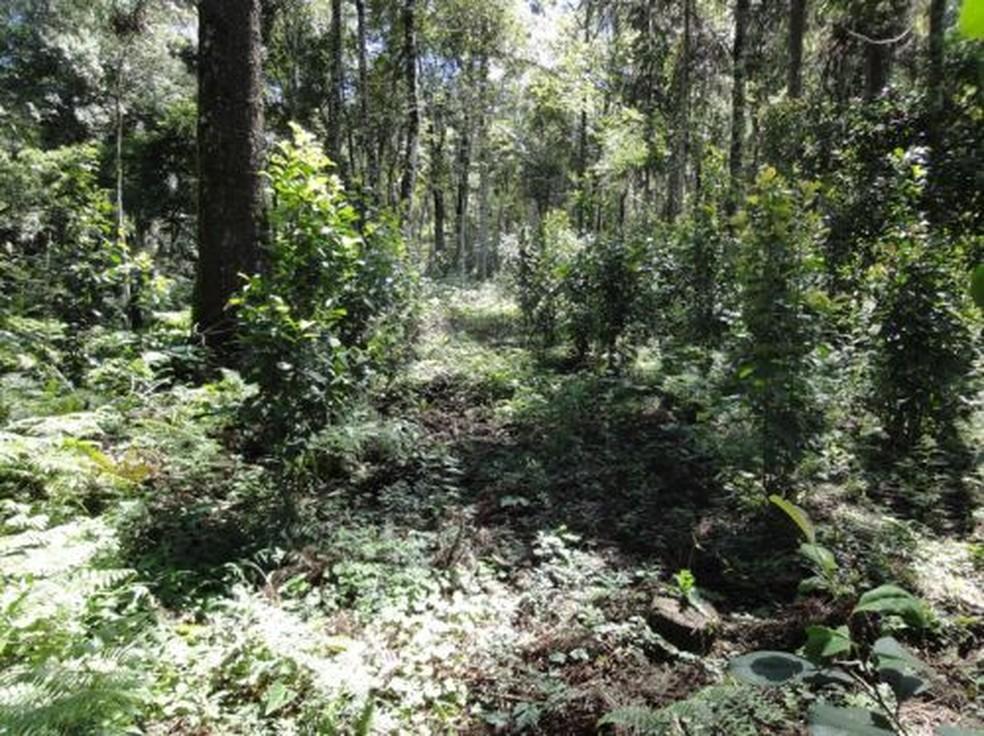 Produção de erva-mate em São Mateus do Sul segue regras de boas práticas agrícolas — Foto: IG-Mathe/Divulgação