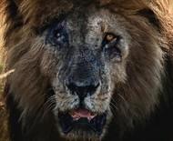 Scarface, o leão mais famoso do mundo, morre com 14 anos