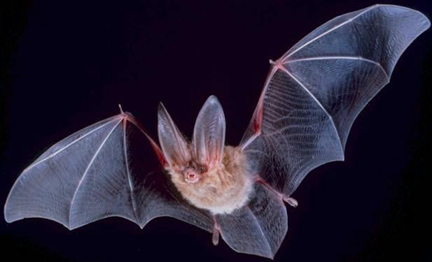 Morcegos e coronavírus convivem há muitas gerações (Foto: Wikimedia Commons)