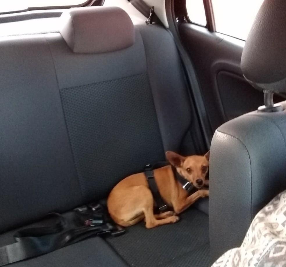 Cinto de segurança é a opção de transporte escolhida para transportar o cão Bacon pelo veterinário Enore — Foto: Enore Augusto Massoni/Divulgação