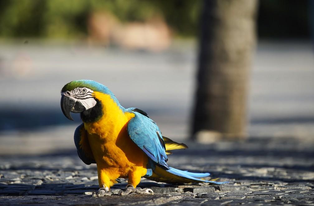RJ, 29/05/2020 Arara anda no calçadão do Arpoador; fotos da ave, que foi até o local com o seu dono, chegaram a circular no início do mês como se fosse um animal selvagem circulando pela cidade devido ao isolamento — Foto: Marcos Serra Lima/G1