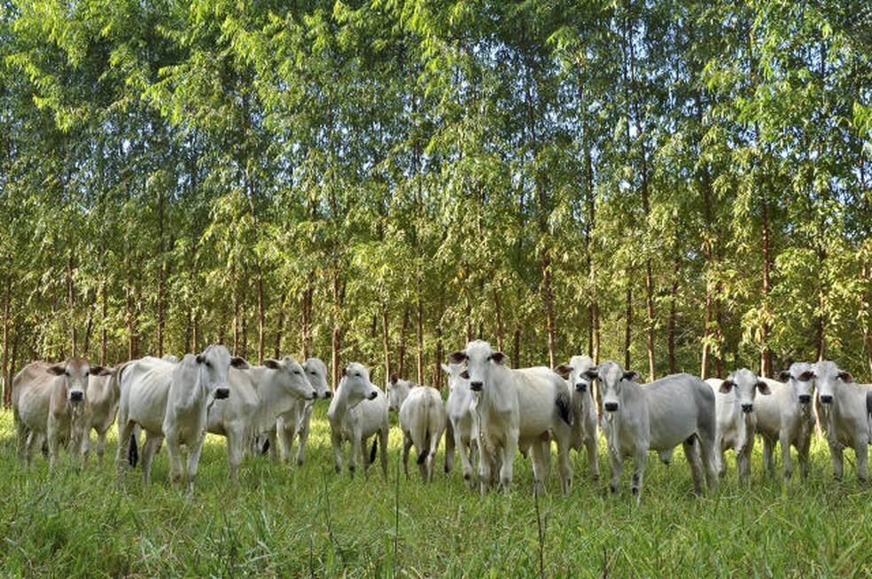 Gado em pastagem com integração-Lavoura-Pecuária-Floresta. Fazenda Santa Brígida, Ipameri-GO. — Foto: Fabiano Marques Dourado/Embrapa