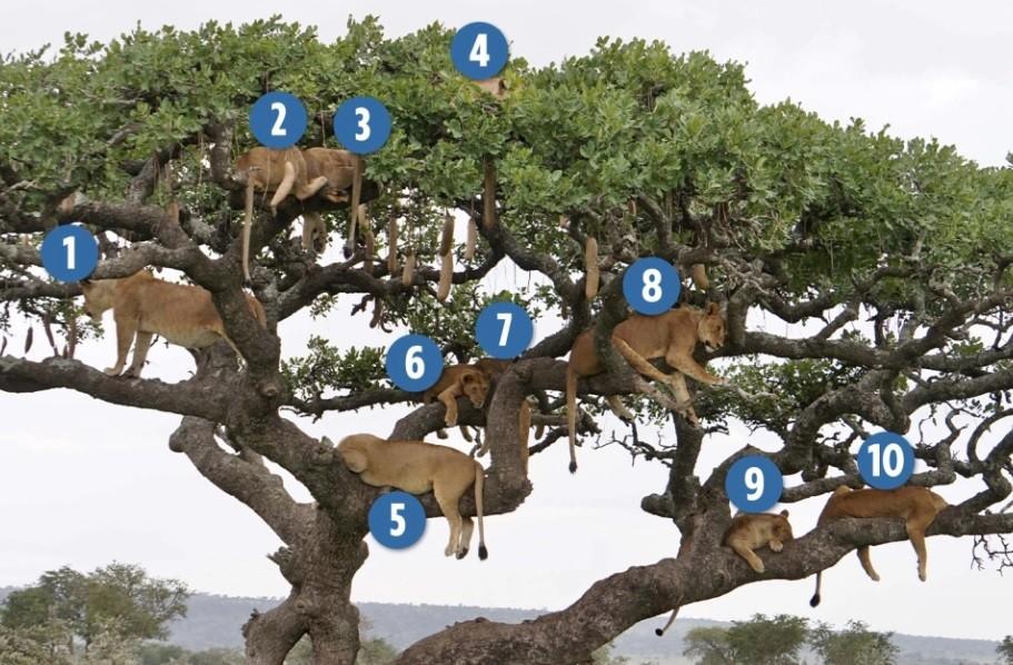 Dez leões tiram cochilo em árvore  (Foto: Reprodução )