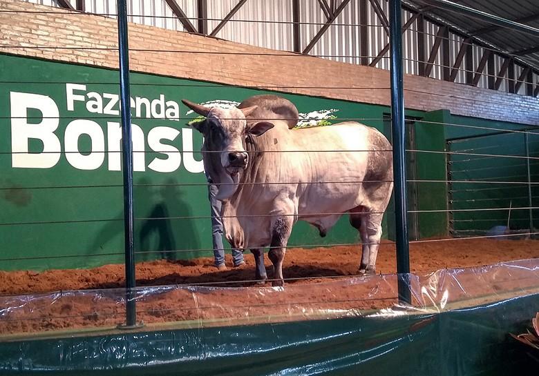 Os zebuínos nelore foram os preferidos do mercado (Foto: divulgação)