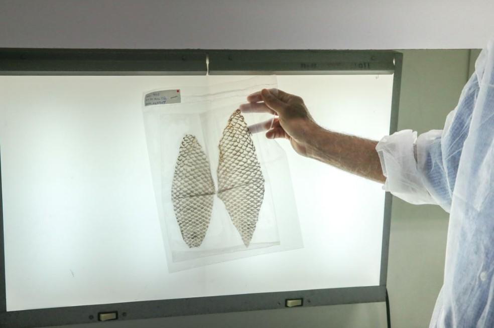 Amostras da pele de tilápia serão enviadas ao espaço pela NASA para passar por testes em órbita. — Foto: Saulo Roberto/Sistema Verdes Mares