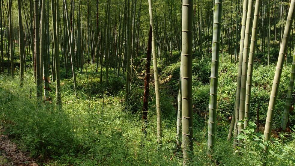 Floresta com bambu — Foto: Arquivo pessoal/Juliana Cortez