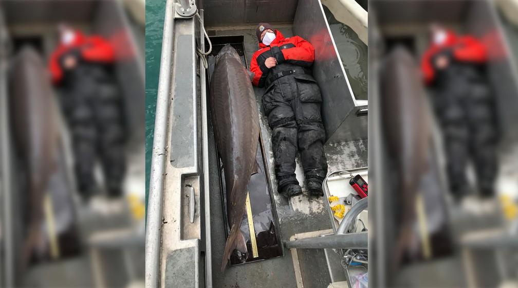 'Monstro do rio' de 108 kg é pescado no Rio Detroit, no estado do Michigan, nos Estados Unidos. Peixe pode ter 100 anos. — Foto: Montagem/G1